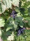 bacchus_grapes