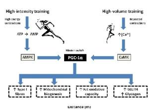 CAMK vs AMPK pathway.